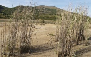 La parte orientale dell'area di Piccalinna è coperta da canneti. Sullo sfondo Punta Riu Unis.