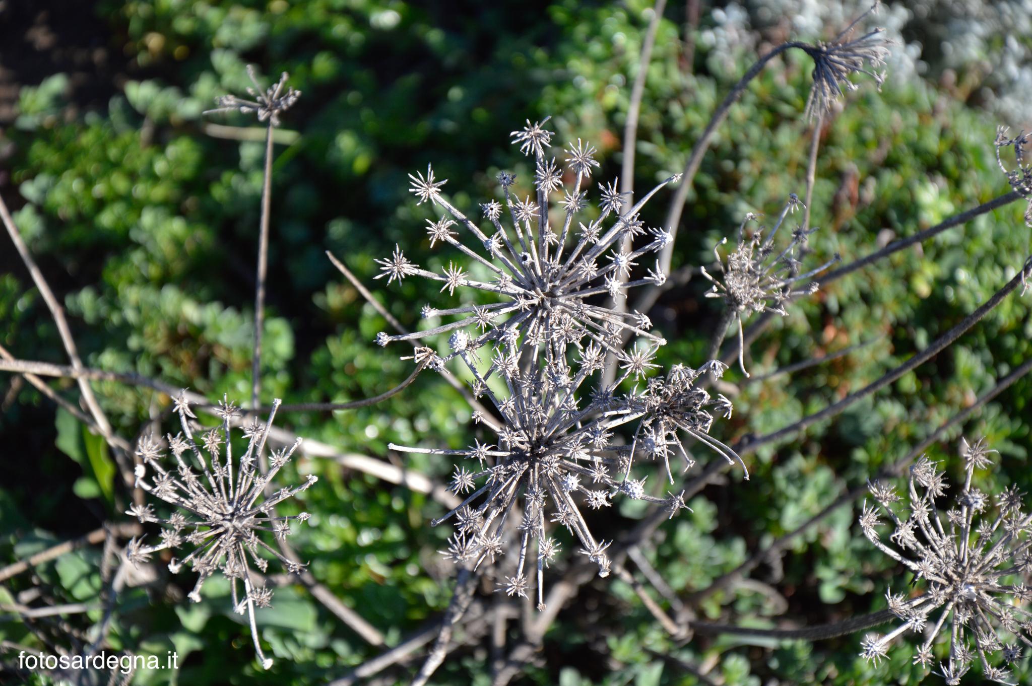 Il fiore secco della Carota, dalla caratteristica forma stellata.